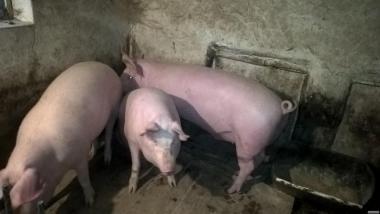 Продается домашняя свинья 80 грн.