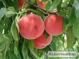НОВЫЕ сорта саженцев персика/нектарина (США) от производителя!!!
