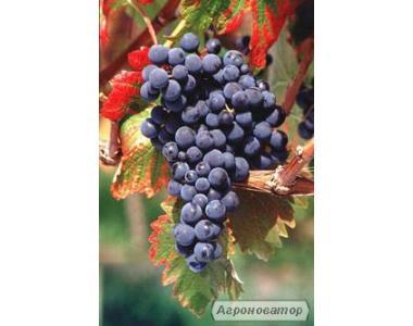 Саджанці винограду Монарх, ювілей херсонського дачника