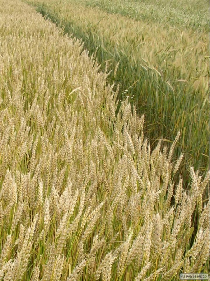 Семена пшеницы  озимой - сорт Ласточка Одесская. Элита и 1 репродукция