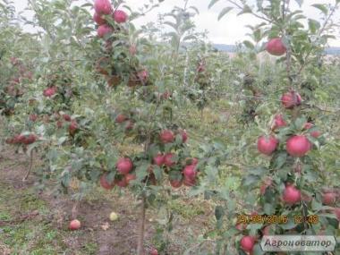 Продам яблоки 2 сорта. Недорого