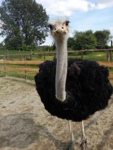 Продам черных африканских страусов