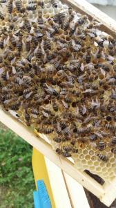 Плодные пчеломатки. Карпатка, 2018р.