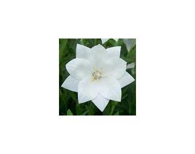 Платикодон Astra Double White (белая)