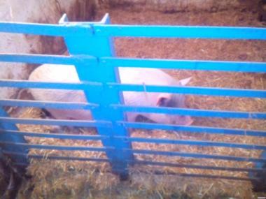 Въетнамские свиньи, кабан, поросята
