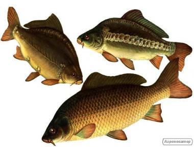 Жива товарна риба: короп, товстолоб, сом та ін