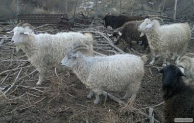 Продам пухових кіз
