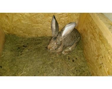 Елітні кролі породи Бельгійський обр