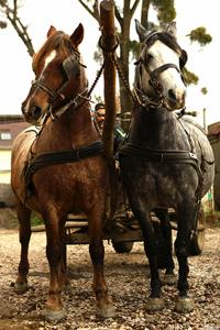 Продам два коні