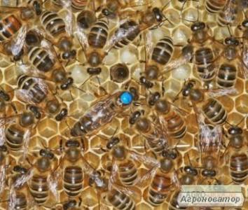 Продам Пчелосемьи, Пчелопакеты