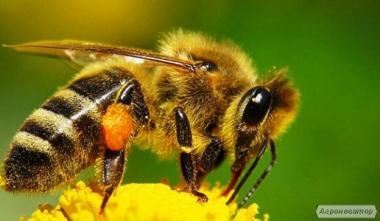 Пчеломатки Украинская степная порода 2017г
