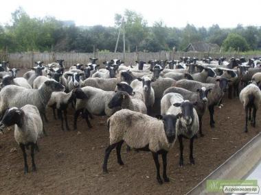Продам стадо овец романовской породы количеством 200 особей