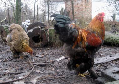 Кури породи брама і кохінхіни - півні на плем'я.