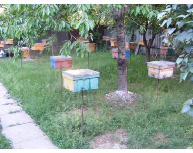 Пропонуємо чистопородні бджоломатки
