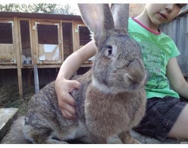 Племенная порода кроликов - Обер. Мировой лидер