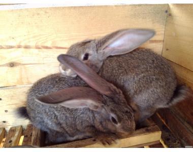 Племінна порода кролів - Обер. Світовий лідер