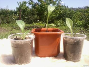 Левзея  Сафлоровидная рассада, семена, корень