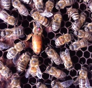 Продам бджоломатки бакфаст 2018