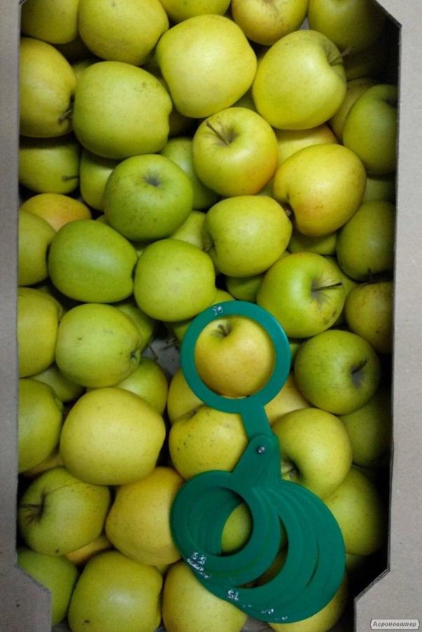 Продаємо яблука сорту Голден Делішес з Волинського саду