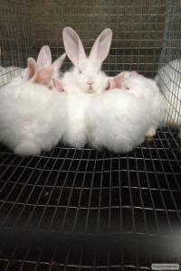Кролики мясных пород Белый паннон