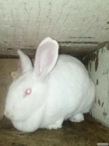 Термонские белые кролики