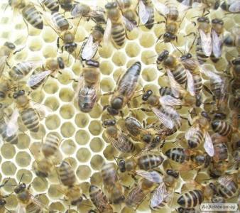 Бджоломатки карпатської породи - Вучківський тип в 2018 році