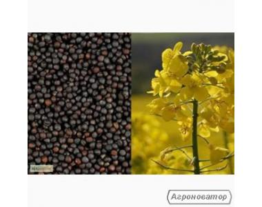Семена рапса озимого - сорт Атлант