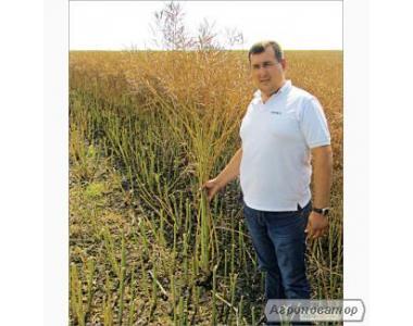 Семена рапса озимого ЛЕМБКЕ гибрид Шерпа, г. Киев