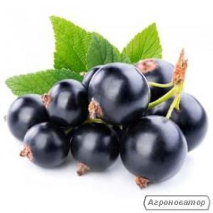 чорнa смородинa, ягоды черной смородины, Смородина черная, 40 т, EXTRA