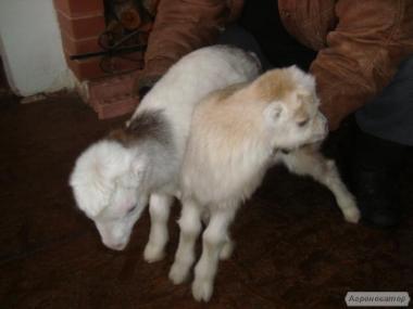 продам козенят ламанчі