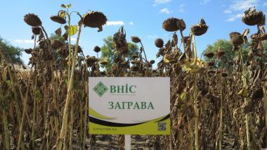 Семена подсолнечника Заграва ВНИС от производителя