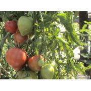 томат, баклажан,перець, селера