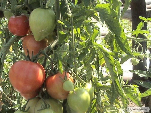 томат, баклажан,перец, сельдерей