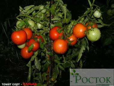 Продажа рассады томатов -Донецк.приём заказов на 2018г