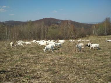 Стадо коз зааненской породы.
