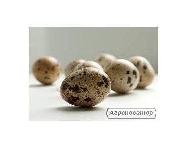 Домашние перепелиные яйца (отборные, крупные)Опт/розница