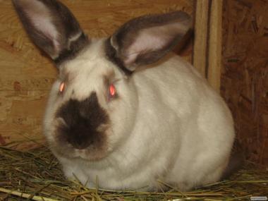 Продам кроликов Новозеландской Калифорнийской Бургундской пород