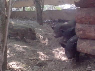 поросята азіатській породи свині (в'єтнамська, корейська)