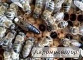 Продам плодные, меченые,высокопроизводительные пчеломатки карпатской породы