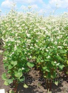 Антарія 1р насіння гречки