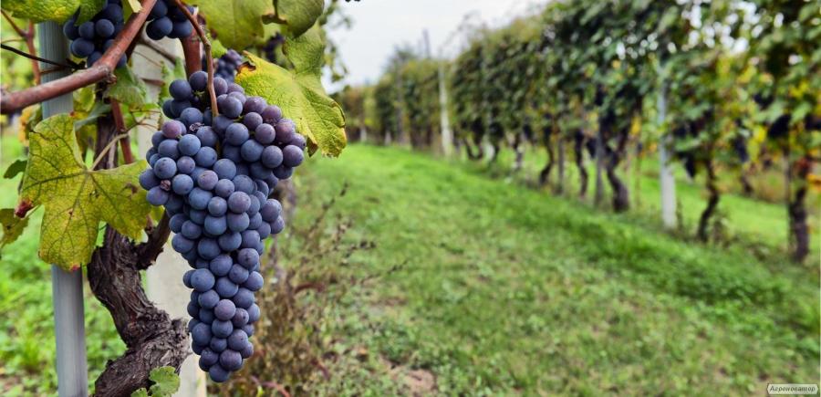 Продам натуральное домашнее вино сорта Зайбер (Зейбель)