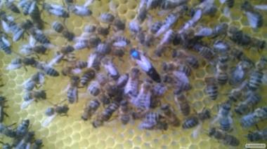 Пчеломатки Карника, карпатка бджоломатки