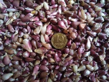 Продам семена чеснока(воздушка) сорта Любаша