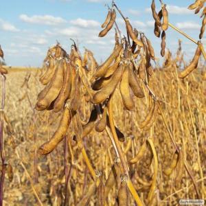 Семена озимой пшеницы, ячменя и тритикале