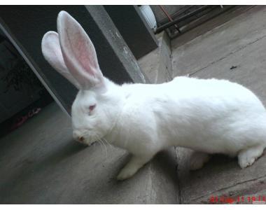 Елітні кролики-велетні