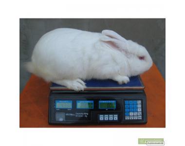 Продам кролей в живом весе, порода Белый Паннон