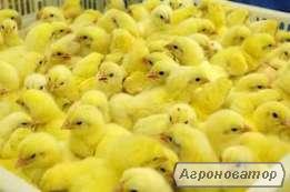 Суточные цыплята-бройлеры КОББ-500 2 июля