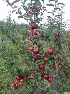 Продам яблука ризных сортив з холодыльныка газовани