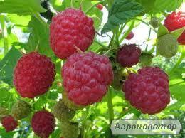 Продам саджанці високоврожайної малини - Дніпро-2; Ляшка; Феномен; Гусар;по 10г