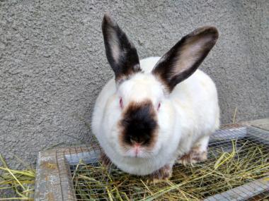Кролики породы калифорнийская